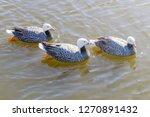 Emperor Geese Swimming In Wate...