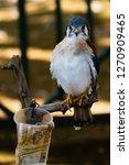american kestrel on a branch... | Shutterstock . vector #1270909465