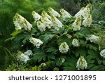 Small photo of Flower head of oakleaf hydrangea (Hydrangea quercifolia) in mid-May in central Virginia. Showy white flowers are sterile and function only to attract pollinators to inconspicuous flowers.