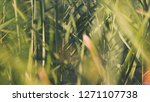 close up of reeds. stock.... | Shutterstock . vector #1271107738