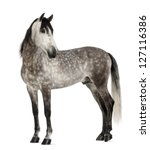 Stock photo andalusian years old looking back also known as the pure spanish horse or pre against white 127116386