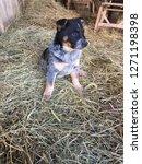Stock photo blue heeler puppy in the hay 1271198398