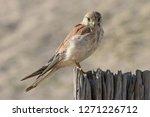 australian or nankeen kestrel | Shutterstock . vector #1271226712