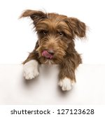Stock photo crossbreed months old leaning on a white panel and licking lips against white background 127123628