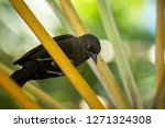 Stock photo carib grackle sitting on palm tree in garden trinidad and tobago black bird perching on branch 1271324308
