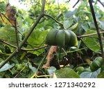 inca sacha inchi  plant in... | Shutterstock . vector #1271340292