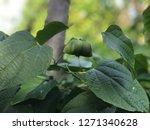 inca sacha inchi  plant in... | Shutterstock . vector #1271340628