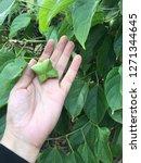 hand harvesting inca peanut ... | Shutterstock . vector #1271344645