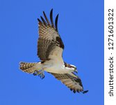 Osprey Fish Hawk In Flight Ove...