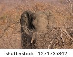 seen in kruger national park | Shutterstock . vector #1271735842