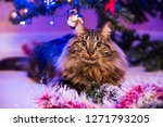 Funny Norwegian Cat Under...