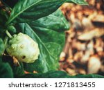 noni tropical fruit plant | Shutterstock . vector #1271813455