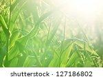 Corn Field Close Up At The...