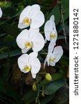 beatiful phalaenopsis orchid... | Shutterstock . vector #1271880142