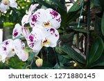 beatiful phalaenopsis orchid... | Shutterstock . vector #1271880145
