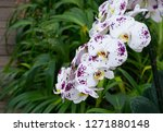beatiful phalaenopsis orchid... | Shutterstock . vector #1271880148