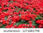 close up of beatiful begonia... | Shutterstock . vector #1271881798