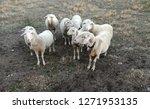 ruminant domestic mammalia.... | Shutterstock . vector #1271953135