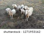ruminant domestic mammalia.... | Shutterstock . vector #1271953162