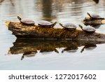 Turtles Sun Bathing On Log