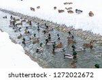 ducks in the winter looking for ... | Shutterstock . vector #1272022672