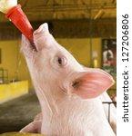 Feeding A Newborn Pig