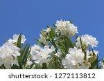 Nerium Oleander. White Oleande...