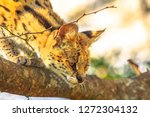 Portrait of Serval on a tree in natural habitat with blurred background. The scientific name is Leptailurus serval. The Serval is a spotted wild cat native to Africa. Side view.