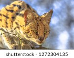 Front view of Serval, Leptailurus serval, on a tree in natural habitat with blurred background. The Serval is a spotted wild cat native to Africa.