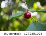 cherry on a sprig on a tree | Shutterstock . vector #1272351025