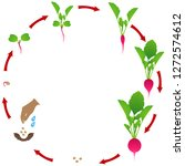life cycle of radish plant on a ... | Shutterstock .eps vector #1272574612