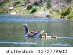 Goose With Goslings In The Pond....