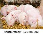 Newborn Piglets Sleeping After...