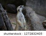 suricata suricatta with...   Shutterstock . vector #1272832405