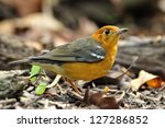 Orange Headed Thrush On The...