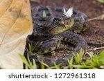 a wild fer de lance with a... | Shutterstock . vector #1272961318
