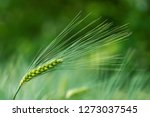barley grain is used for flour  ... | Shutterstock . vector #1273037545