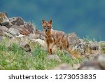 golden jackal  canis aureus ... | Shutterstock . vector #1273053835
