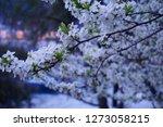 Close Up Beautiful White Plum...