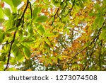 Horse Chestnut Conkers In Gree...