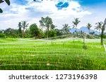 spring green rice fields... | Shutterstock . vector #1273196398