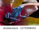 Blue and black poison dart frog ...