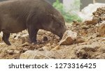 close up. the black boar in... | Shutterstock . vector #1273316425