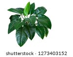 heart shaped dark green leaves... | Shutterstock . vector #1273403152