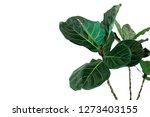 Green Leaves Of Fiddle Leaf Fig ...