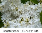 blooming lilac bush in spring... | Shutterstock . vector #1273444735