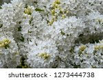 blooming lilac bush in spring...   Shutterstock . vector #1273444738