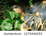 Stock photo  portrait of radiated tortoise the radiated tortoise eating flower tortoise sunbathe on ground 1273446292