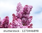 blooming lilac bush in spring... | Shutterstock . vector #1273446898