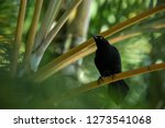 Stock photo carib grackle sitting on palm tree in garden trinidad and tobago black bird perching on branch 1273541068